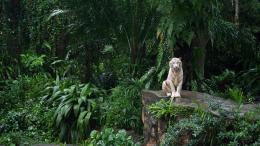 jungle animals tigers white tiger 1920x1080 hd wallpaper2 jpg 789