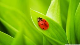 Ladybug Sleeping On A Green Leaf Wallpaper 1920x1080 Ladybug, Sleeping 425