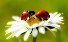 Ladybug Desktop Wallpapers 1782