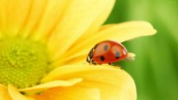 ladybug high definition wallpapers lovely desktop background pictures 1026