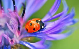Ladybug And Cornflower Blue 1794