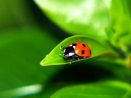 Ladybug Desktop Wallpapers 1490