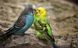 Spectacular love birds hd wallpapers 1523