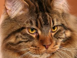 Maine Coon Cats Wallpapers 1129