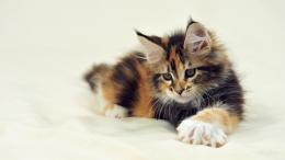 Photos of Maine Coon cats and kittens 331