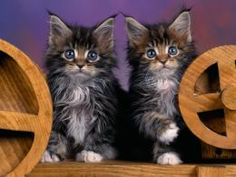 Maine Coon KittensCats Photography Desktop Wallpapers60879 Views 1339