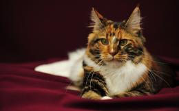 Maine Coon Cats Wallpapers 1708