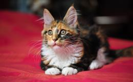 Tag: Maine Coon Cat Wallpapers, Images, Photos and Pictures for free 1318