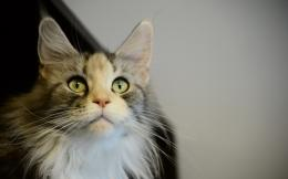 young maine coon cat stares somewhere maine coon uploaded 1049