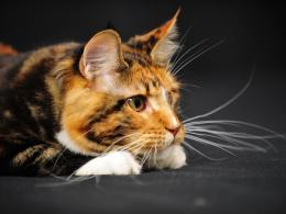 maine coon cats hd wallpapers cool desktop background photographs 1367