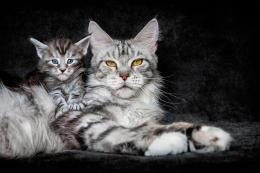 Cat, kitten, background, maine coon wallpapersphotos, pictures 1025