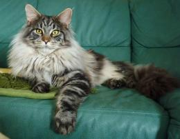 Beautiful silver Maine Coon cat on a sofa wallpapers and images 121