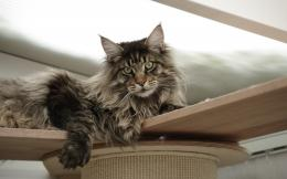 Mainecoon, maine coon cat, cat wallpapersphotos, pictures 607