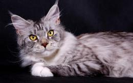 Silver Maine Coon cat on a dark background wallpapers and images 836
