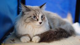 View and download our collection of Maine Coon cat wallpapers 1785
