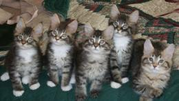 Maine Coon kittens wallpaper 184
