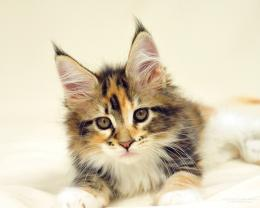 Photos of Maine Coon cats and kittens 1845