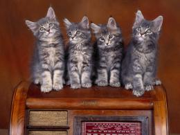Tag: Maine Coon kittens Wallpapers, Images, Photos and Pictures for 1571