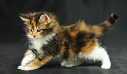 Photos of Maine Coon cats and kittens 580