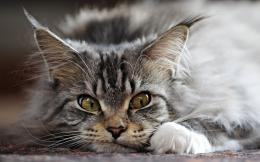 Funny Maine Coon cat wallpapers and images 1981