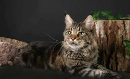 Maine Coon cat poses with a stump wallpapers and images 966