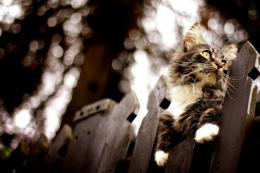 View and download our collection of Maine Coon cat wallpapers 950