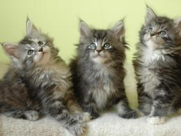 maine coon cats hd wallpapers cool desktop background photographs 943