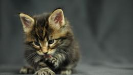 wallpaper image wallpaper funny cat oracle maine coon kitten cats 904