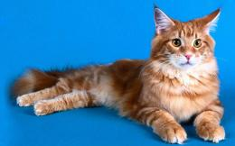 Maine Coon Cat Wallpapers 267