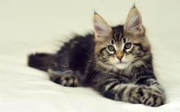 Maine Coon Cat Wallpapers 295
