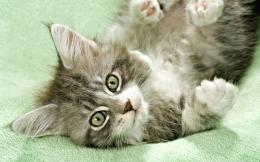 Maine Coon Cats Wallpapers 978