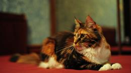 Maine Coon Cats Wallpapers 1873