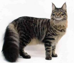 Maine Coon Cats Wallpapers 1135