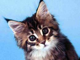 maine coon cat wallpaper 1715