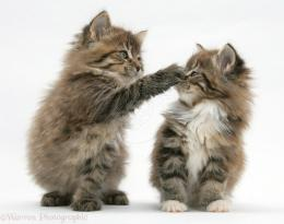 View and download our collection of Maine Coon Kittens wallpapers 929