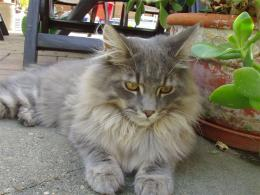 Domestic Cat Maine Coon Silver 1820