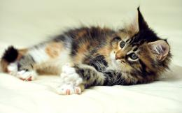 Little cute Maine Coon cat wallpapers and images 655