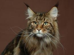 View and download our collection of Maine Coon cat wallpapers 744