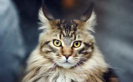Maine Coon Cat Portrait Desktop Wallpapers and Backgrounds 1571