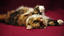 image wallpaper 1600 900 Funny Cat Maine Coon Cat LOL cats Ni752275 1010