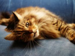 View and download our collection of Maine Coon cat wallpapers 1923