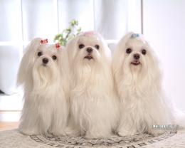 Maltese Puppies wallpaperMaltese Pictures 1280*1024 NO 34 Wallpaper 1725