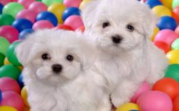 Puppies Cute Puppies : 1686