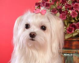 Maltese Puppies wallpaperMaltese Pictures 1280*1024 NO 3 Wallpaper 560