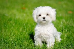 Very Cute Maltese Dog Sitting On Grass Puppies Wallpaper #792 1659