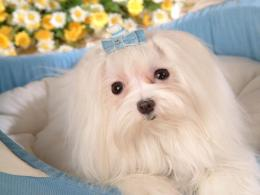 Dogs Maltese Dogs wallpaper 1050