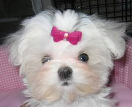 Maltese dog girl wallpaper 1155