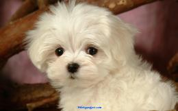 maltese puppies wallpaper 59Maltese Puppies Wallpaper 940