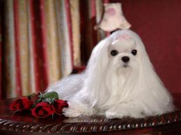 Dogs Maltese Dogs wallpaper 465
