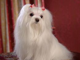 Dogs Maltese Dogs wallpaper 791